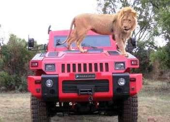 В Африке разбойник,  В Африке злодей,  В Африке ужасный... Marauder! Львам неведам страх...