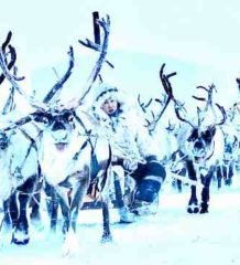 Тундра и Арктика территория вездеходов. Северные Олени - Карибу - Rangifer Tarandus
