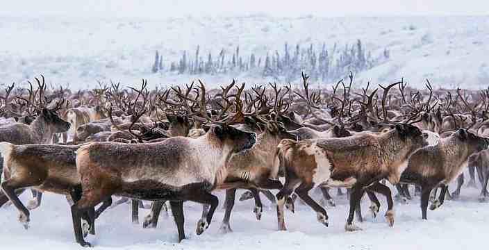 Тундра и Арктика территория вездеходов. Северные Олени - Карибу - Rangifer Tarandus. Миграция Диких Оленей